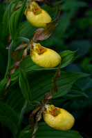 Large Yellow Lady's Slipper - 4843