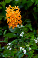 Yellow Fringed Orchid -6061